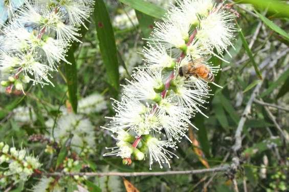 Le miel de niaouli gagne en pureté