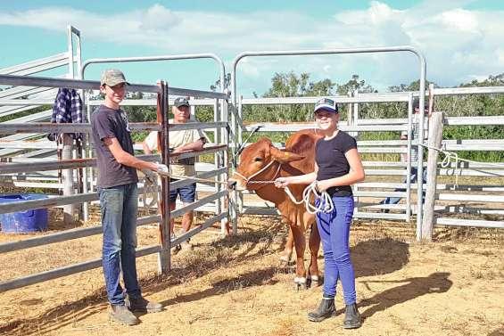 Une préparation  aux concours bovins