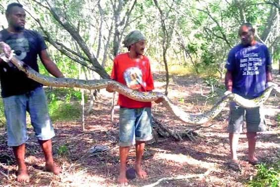 La morsure du python réticulé « peut être très dangereuse »