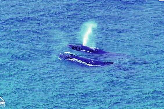 Le whale watching soumis à une charte