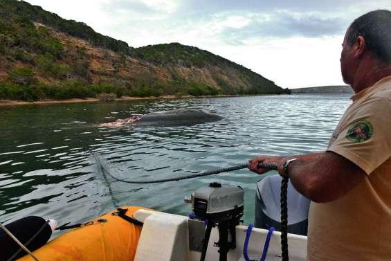 La carcasse du cachalot de retour dans le lagon