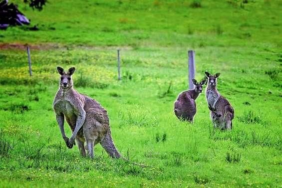 Un kangourou blesse trois personnes