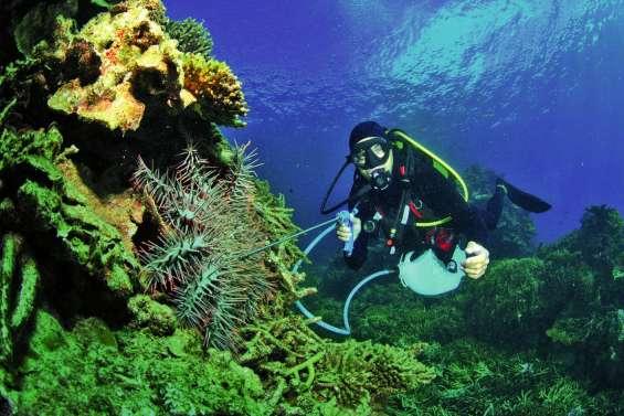 Cherche plongeurs pour piquer les dévoreuses de corail