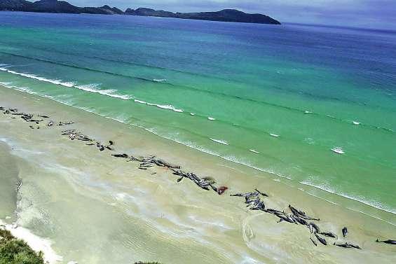 Près de 150 dauphins pilotes s'échouent