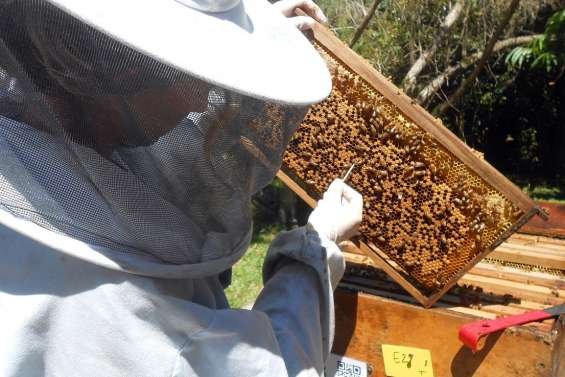 Le secret des abeilles révélé demain à Port-Laguerre
