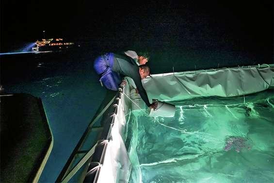 Un élevage de larves de coraux pour sauver la Grande Barrière