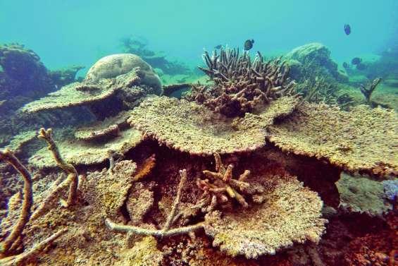 Chez les coraux aussi, c'est le plus fort qui gagne