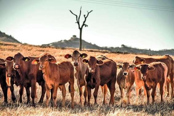 Babésiose bovine : une maladie prise très au sérieux par les éleveurs