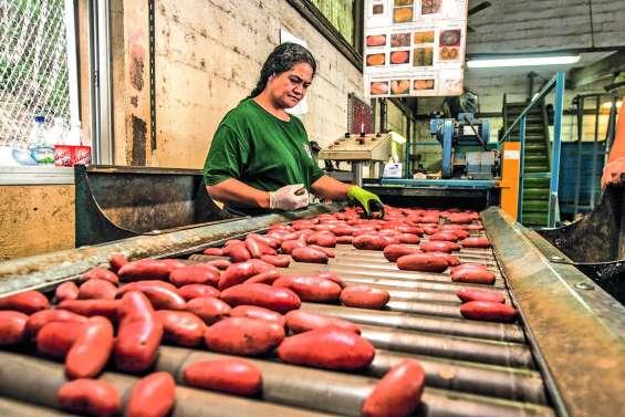 Production record, nouvelles variétés…  la pomme de terre vise le 100 % local