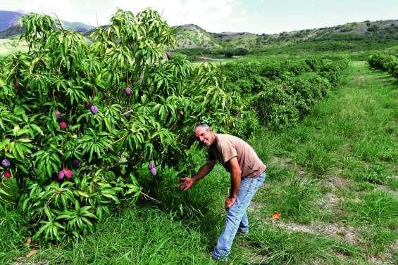 La mangue gagne en goût et en variétés