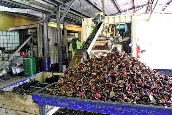 Ouvéa est confrontée à une forte baisse de la production de coprah