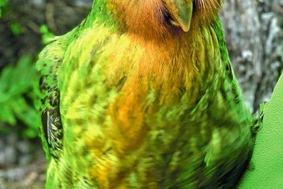 Le changement climatique, l'allié inattendu du kakapo
