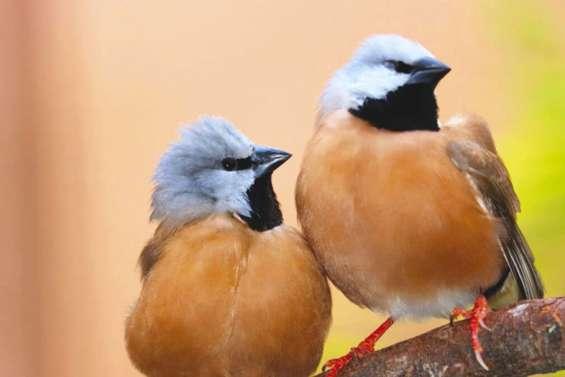 Le tout petit oiseau qui bloque le mégaprojet minier Adani