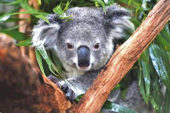 Le koala déclaré éteint dans 41 zones de l'île continent