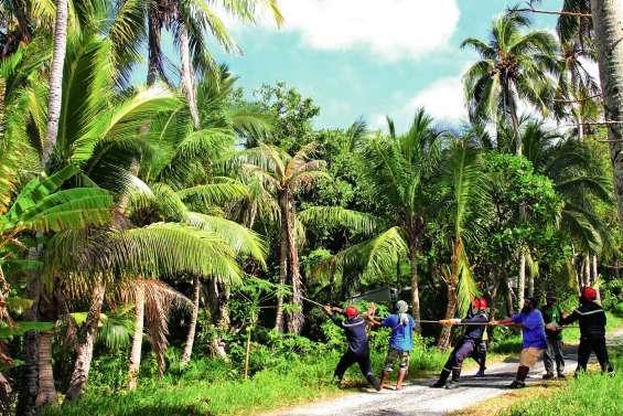 Des cocotiers abattus à cause du Brontispa