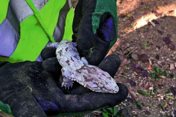 Le déménagement d'un gecko aux Grottes