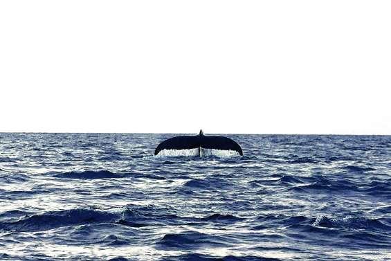Une baleine observée à Lifou, « ça promet pour la saison »