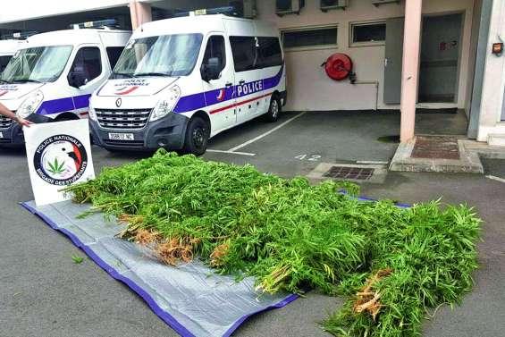 La police arrache 95 pieds de cannabis cachés… dans la cité Pierre-Lenquette