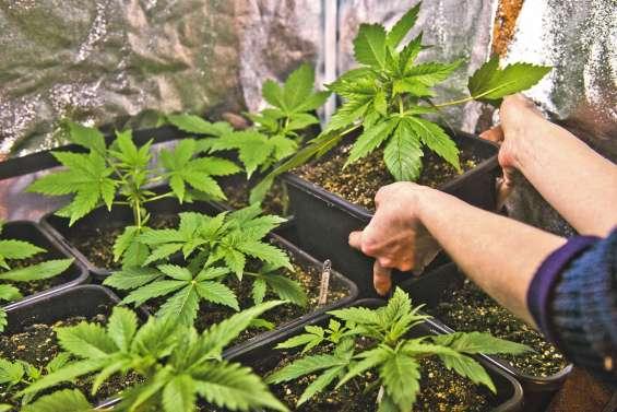 L'Etat pourrait se donner deux ans pour tester le cannabis thérapeutique