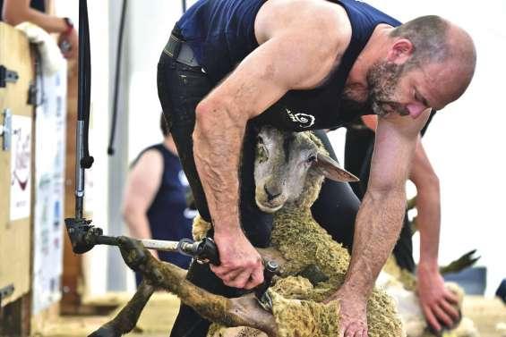 Les as de la tonte de moutons visent la médaille