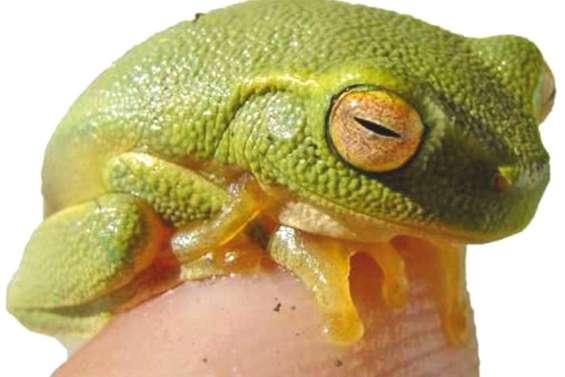 Appel à la vigilance après la découverte d'une grenouille australienne envahissante