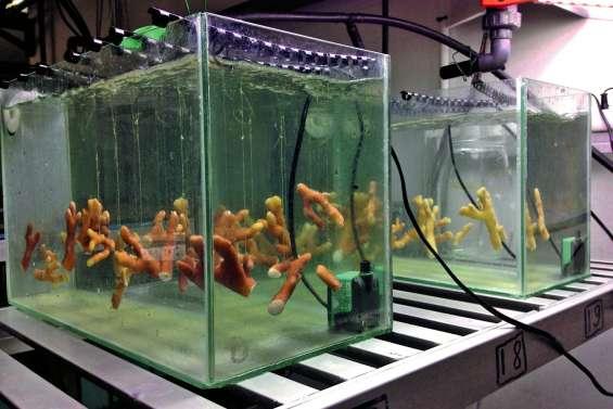 Les coraux, même blanchis, se régalent de micro-algues