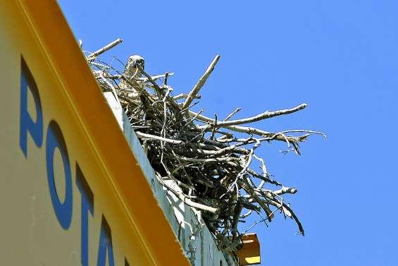 Boulari : un chantier interrompu par un nid d'aigles pêcheurs