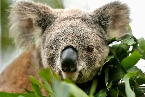 Des matières fécales pour sauver des koalas affamés