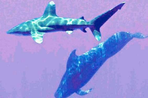 L'attaque de requin à Moorea  crée une onde de choc