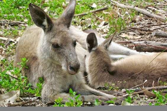 Il s'amusait à tuer des kangourous