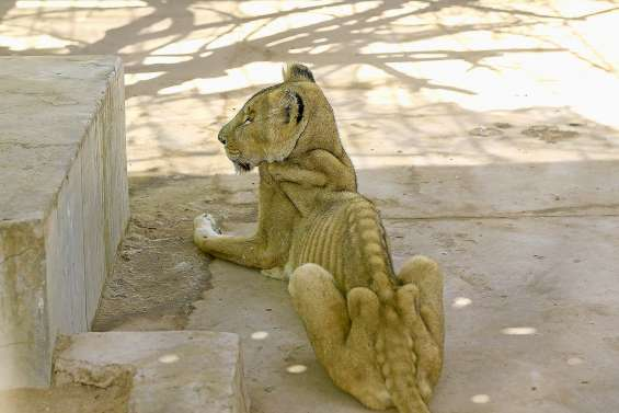 Des appels à sauver cinq lionnes et lions « malades et mal nourris »