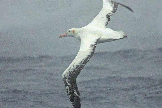 Dans les quarantièmes rugissants, les pêcheurs illégaux sous l'œil des albatros