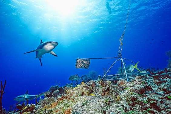 Les requins de récifs fuient de plus en plus les hommes