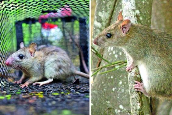 Rat noir et rat du Pacifique : rongeurs de biodiversité