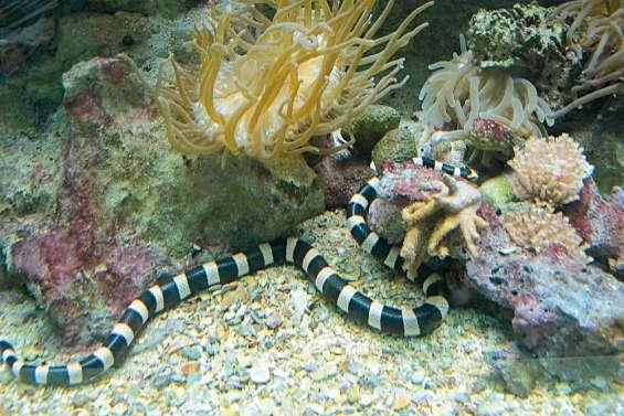 Le tricot rayé, serpent du lagon