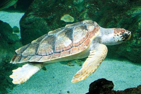 Les tortues à grosse tête