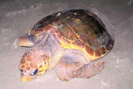 Privés de tortues