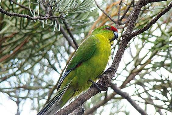 La perruche calédonienne, un oiseau rare