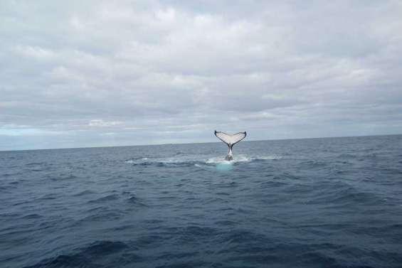 Premières baleines observées à Kunié