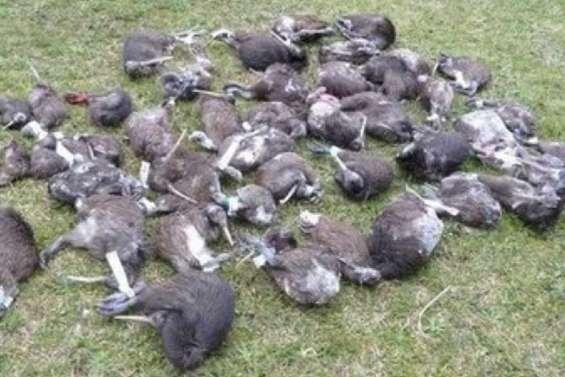 Les chiens tueurs de kiwis