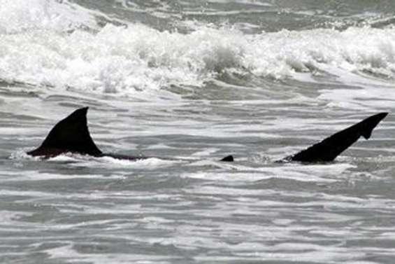 Un requin sème la panique