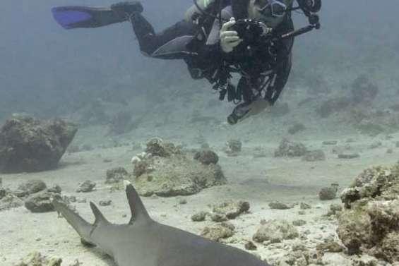 Requins libres à Palau