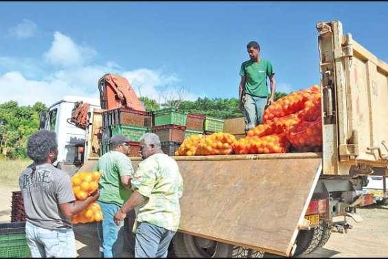 En route pour la Fête de la mandarine