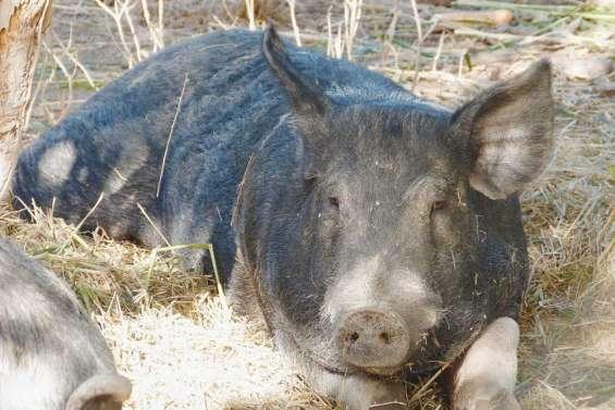 Quinze cochons massacrés