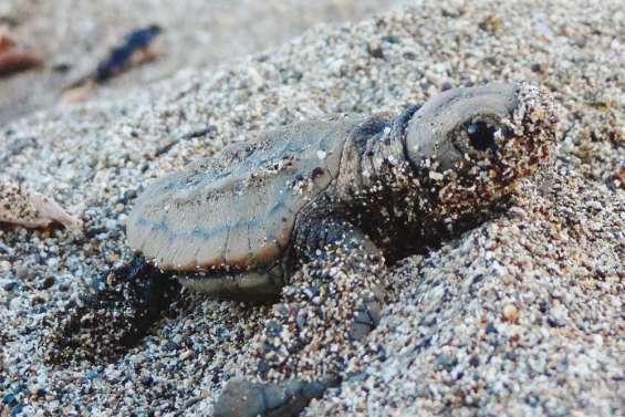 Bal des tortues à la Roche-Percée