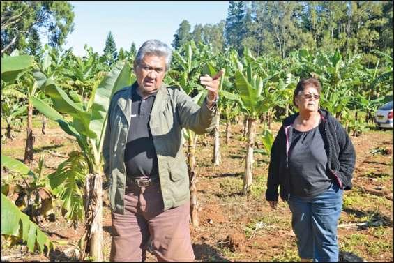 Ces producteurs ont la banane