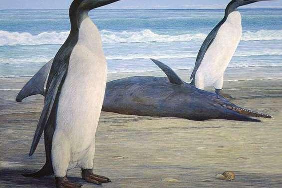 Des fossiles de pingouins géants