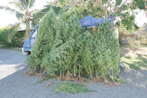 La tribu de Gatope dit non au cannabis