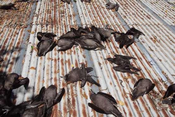 130 puffins massacrés