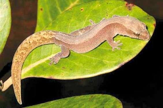 Un gros lézard chez les geckos